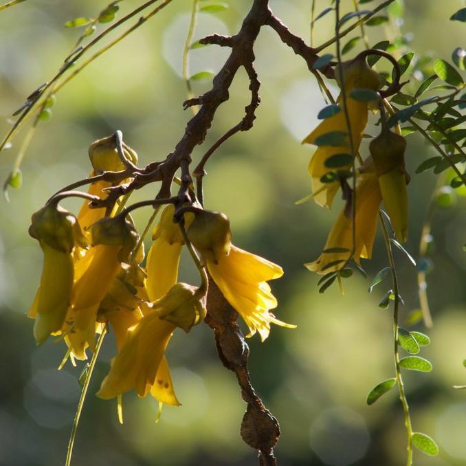 Sophora à grandes fleurs jaunes Sophora microphylla SUNKING® 'Hilsop'