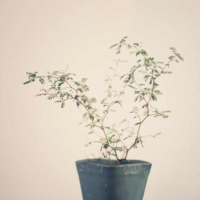 Sophora à grandes fleurs jaunes Sophora 'Little Baby' (syn. S. prostrata ou tetraptera 'Little Baby')