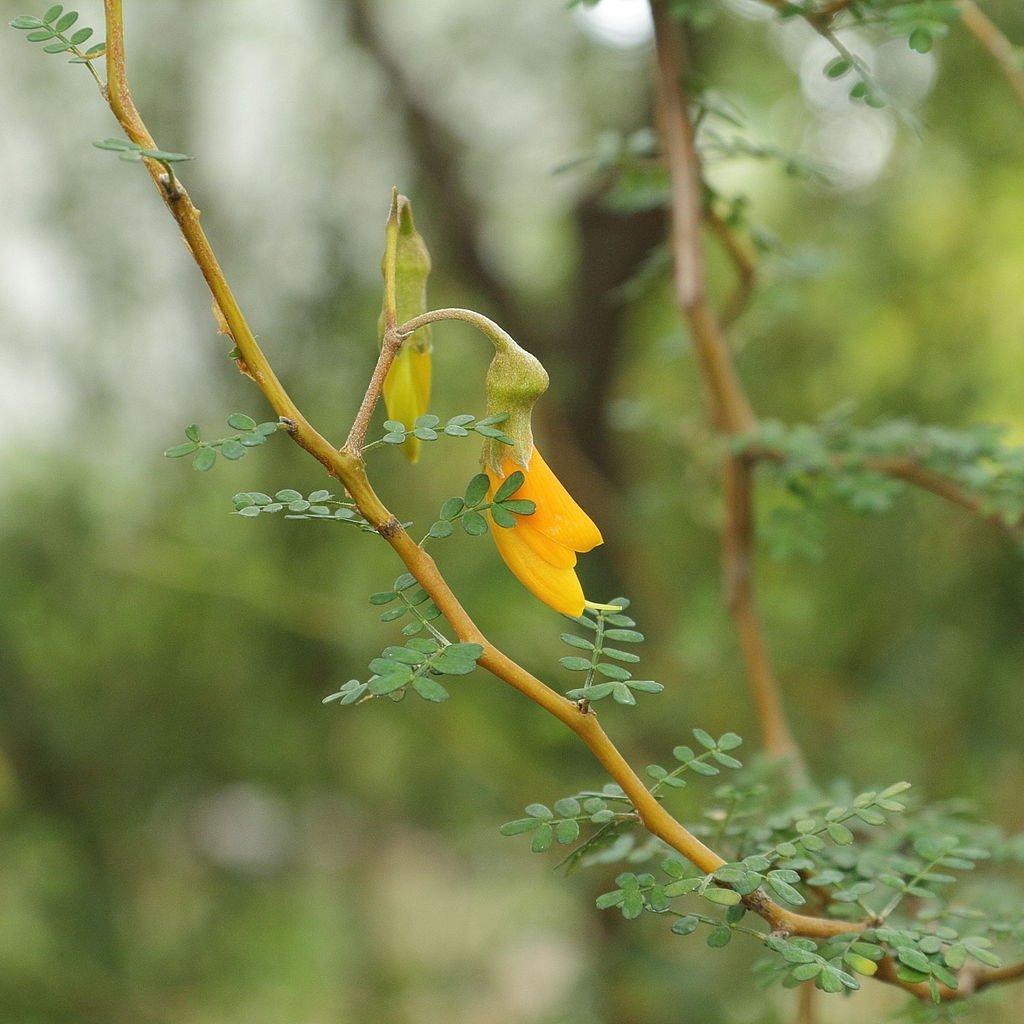 Sophora à grandes fleurs jaunes Sophora prostrata