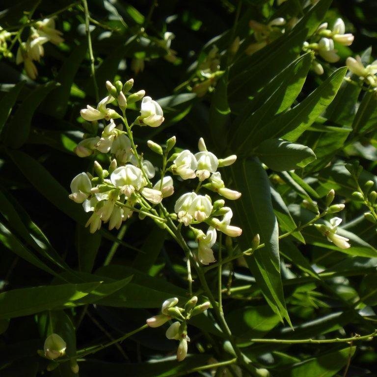 Sophora à petites fleurs blanches Sophora du Japon (Sophora japonica, syn. Styphnolobium japonicum)