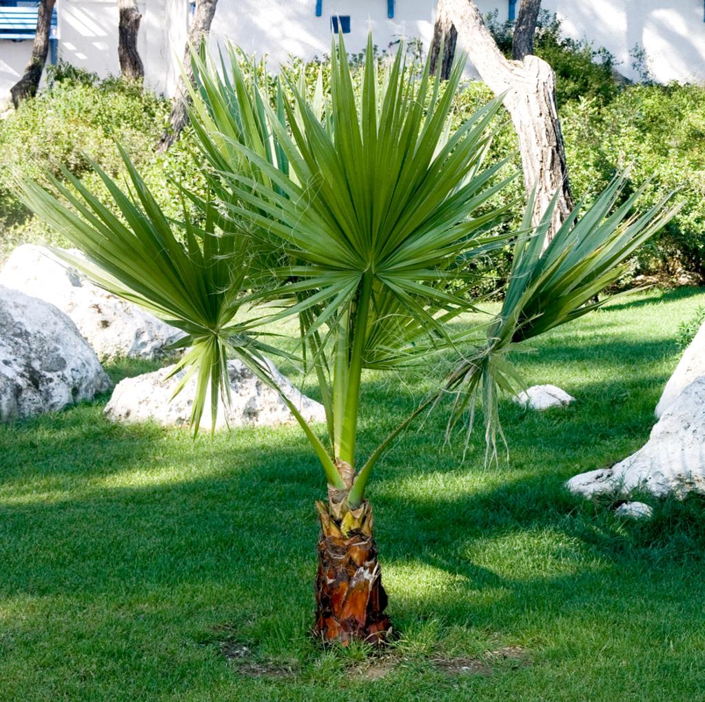 palmier washingtonia