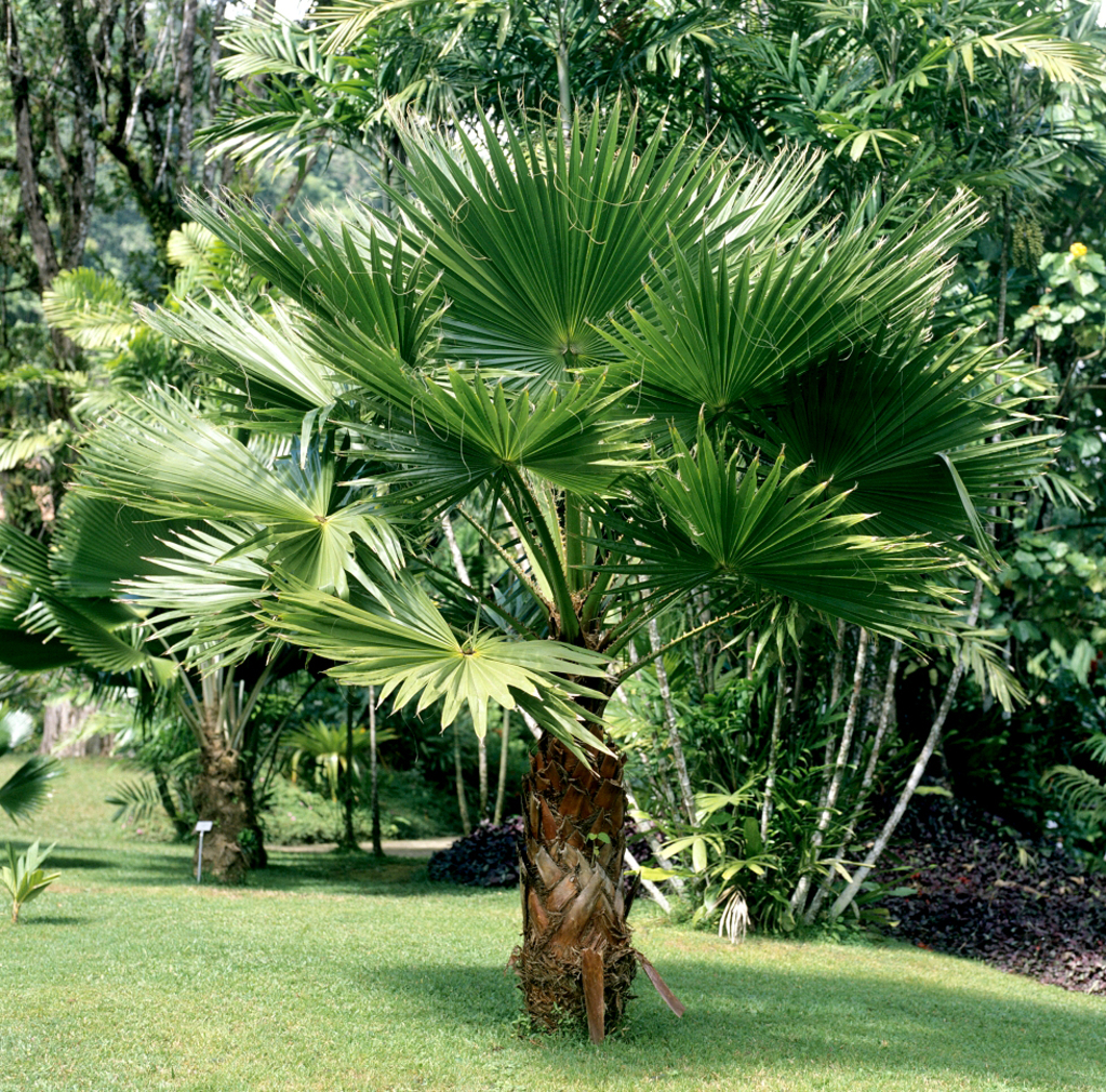 Quand planter washingtonia robusta for Comment planter un palmier en pot