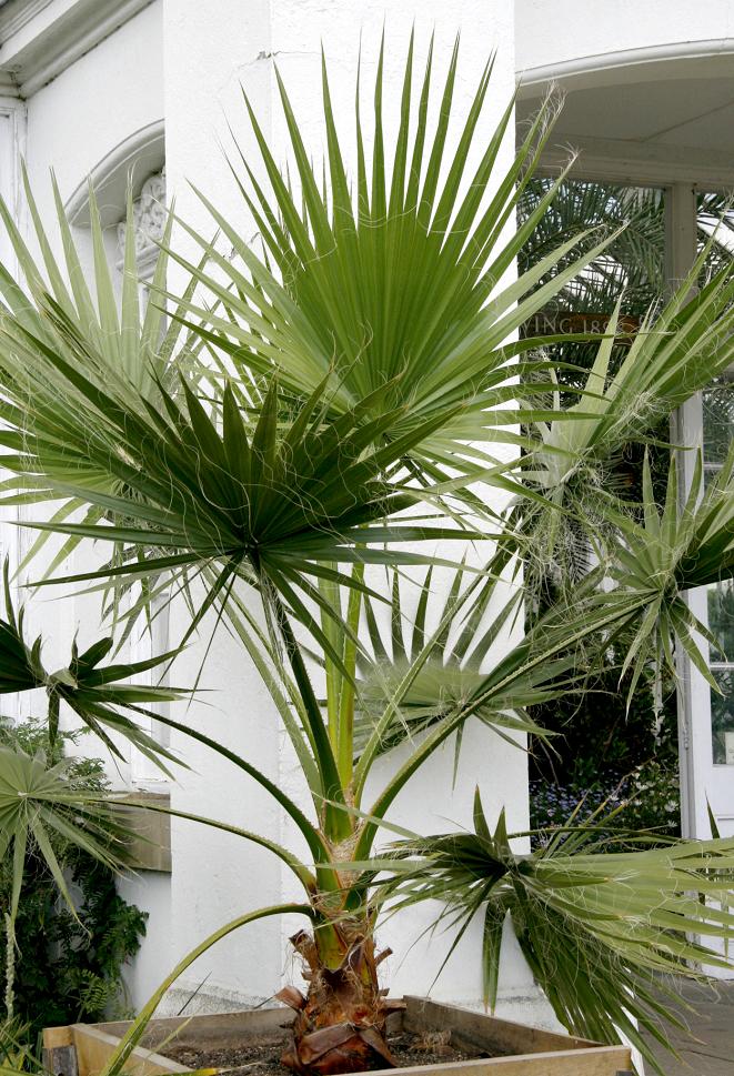 planter un washingtonia robusta