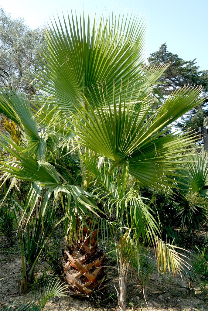 palmier washingtonia robusta arrosage