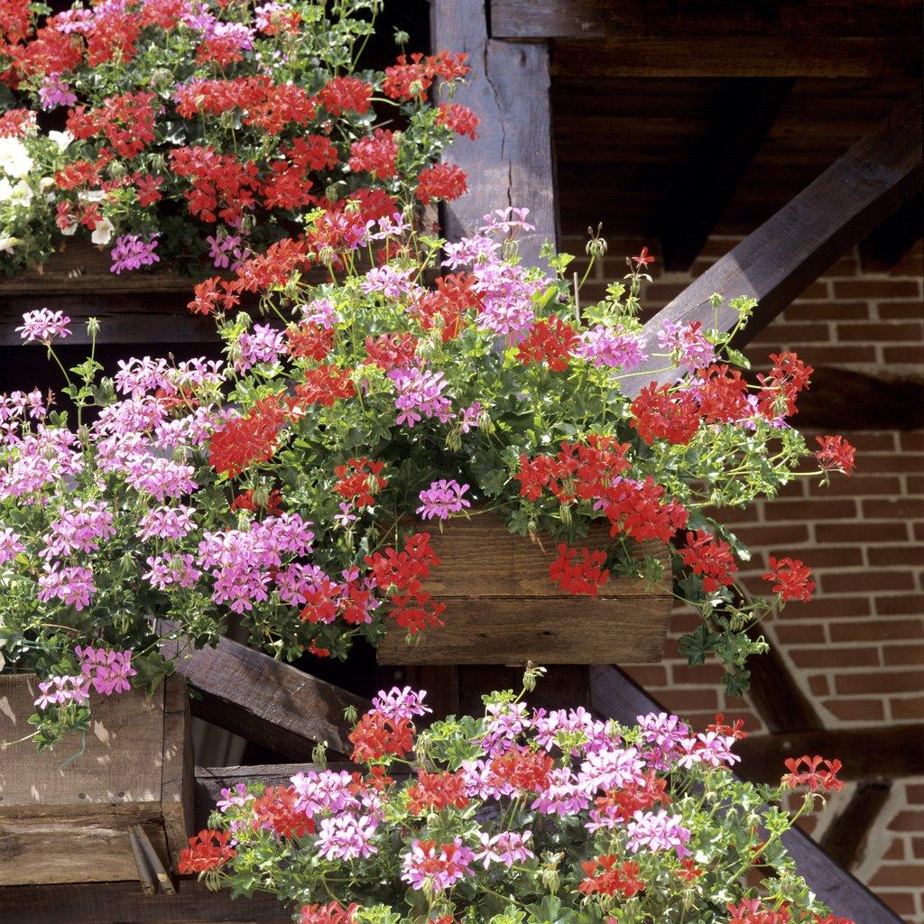 comment planter geranium zonal