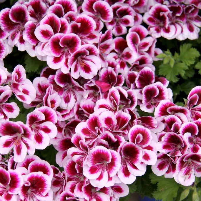 Géranium à grandes fleurs ou pélargonium des fleuristes Pelargonium  grandiflorum