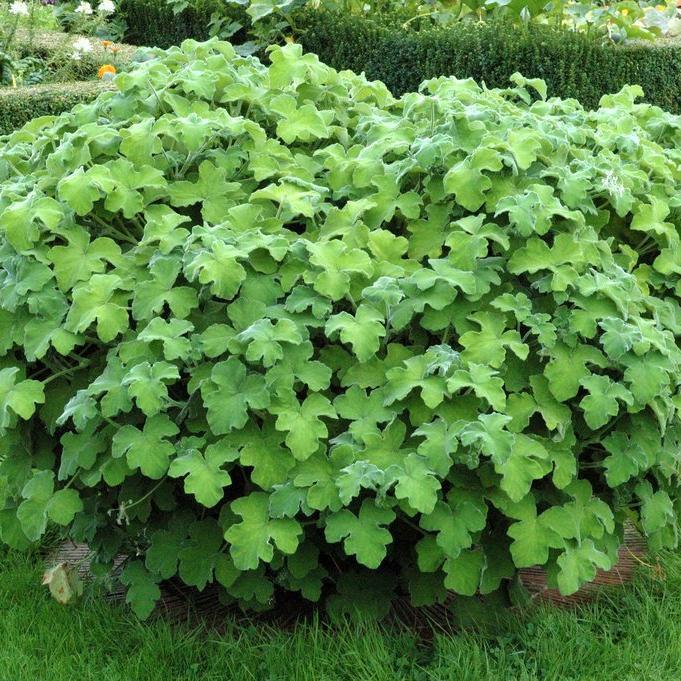 Géranium odorant Pelargonium tomentosum
