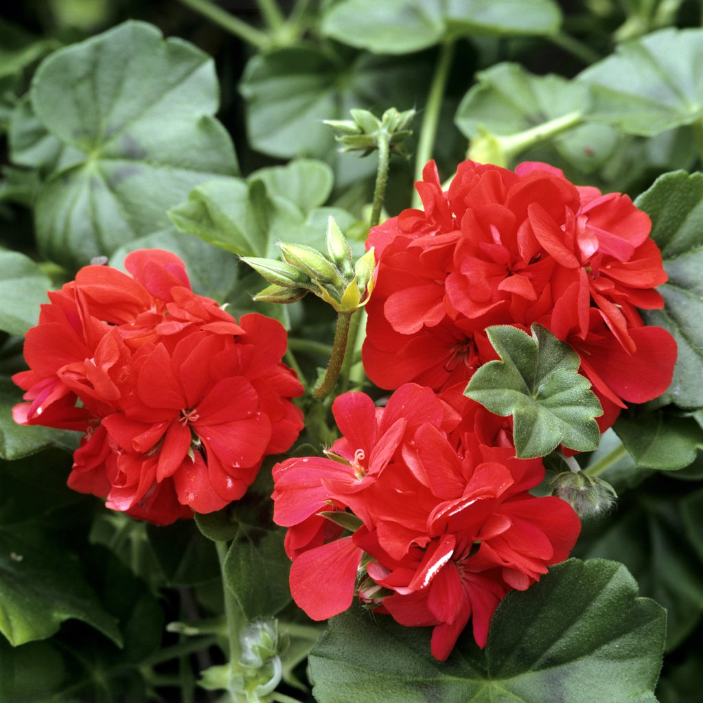 P largonium planter et cultiver ooreka - Quand planter les geraniums ...