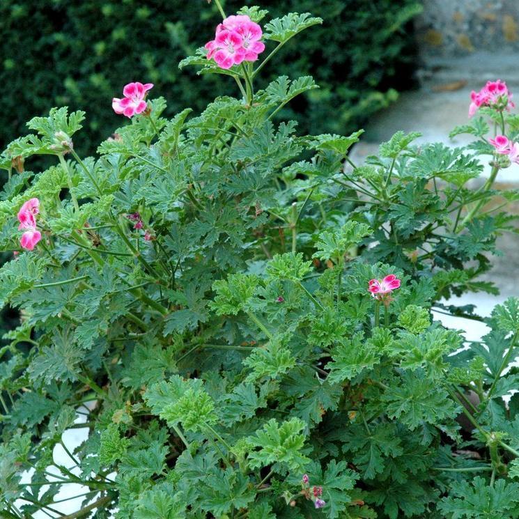 Géranium odorant Géranium rosat (Pelargonium graveolens)