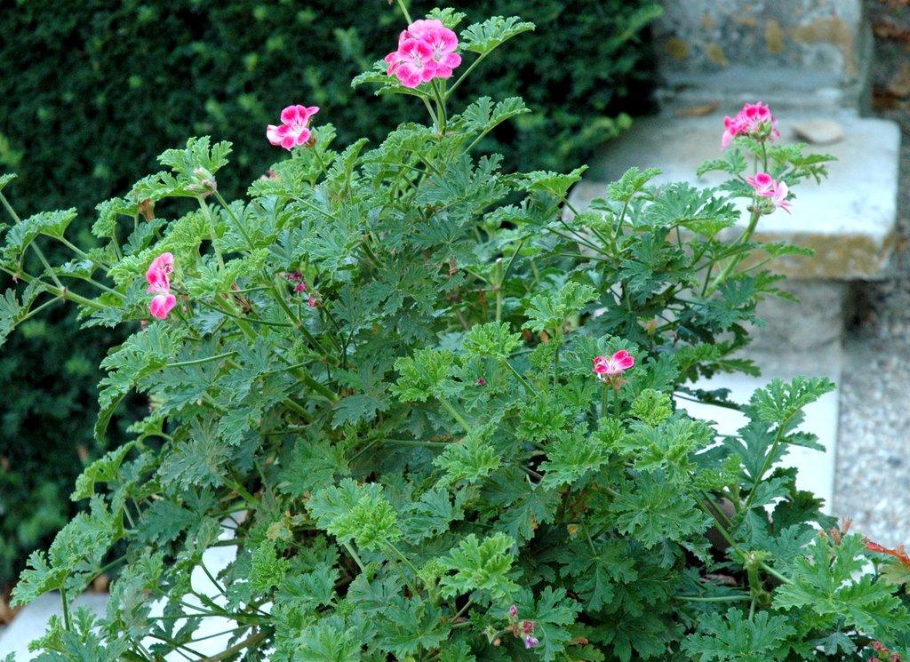 P largonium planter et cultiver ooreka for Type de plante