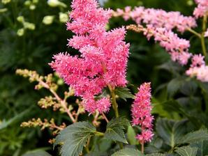 Multiplication de l'astilbe