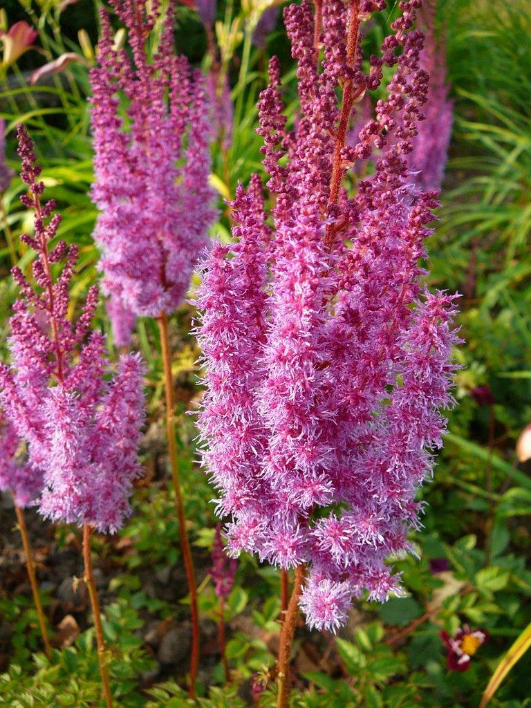 astilbe : planter et cultiver – ooreka