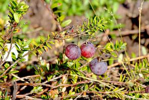 Culture et entretien de la cranberry