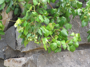 Plantation du Cissus