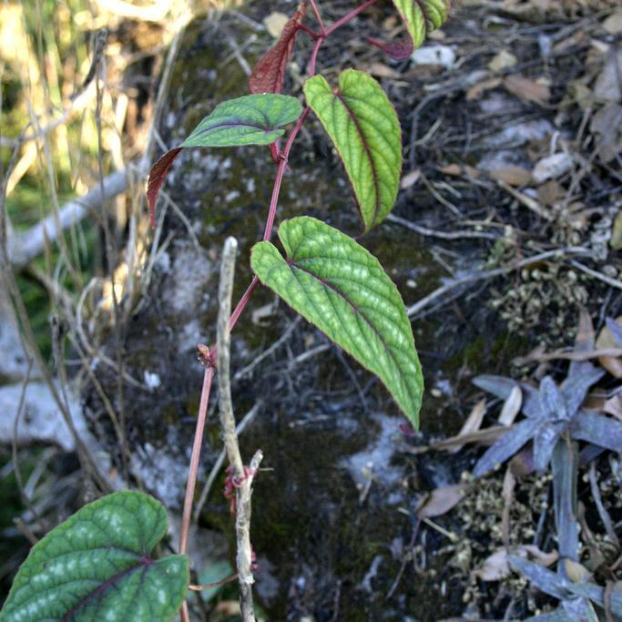 Vigne Begonia rex Cissus discolor