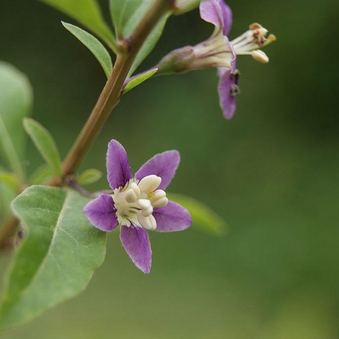 Espèces commercialisées pour leurs baies Goji, lyciet commum (Lycium barbarum, syn. L. halimifolium)