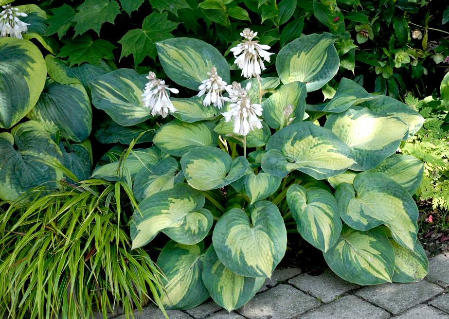 Hosta : planter et cultiver – Ooreka
