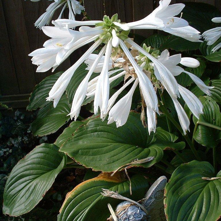 Hostas parfumés H. plantaginea var. grandiflora