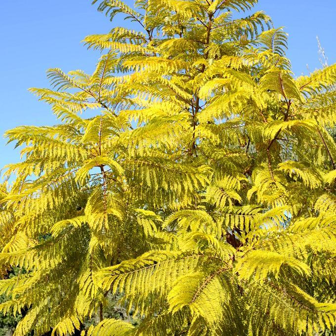 Espèce la plus répandue Jacaranda, arbre à huîtres (Jacaranda mimosifolia, syn. J. ovalifolia, J. acutifolia HORT)