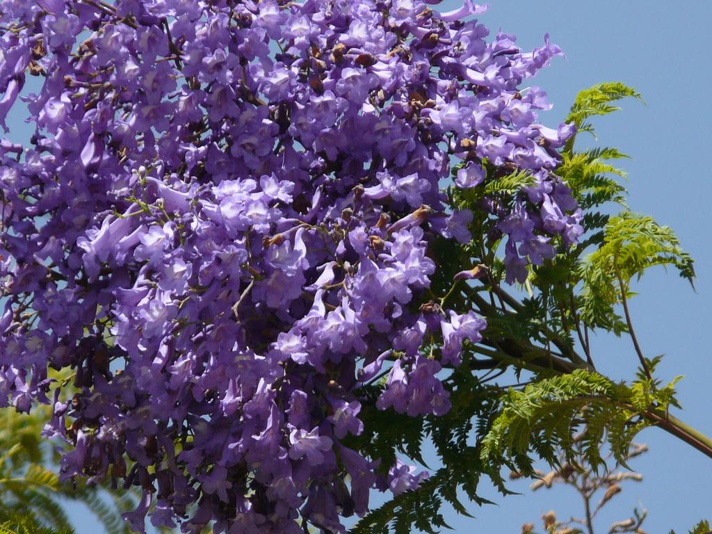 Jacaranda planter et cultiver ooreka - Arbre fleur mauve printemps ...