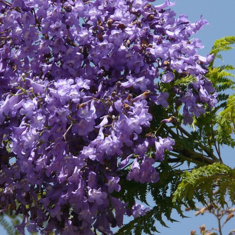 Jacaranda planter et cultiver ooreka for Plante 7 folioles