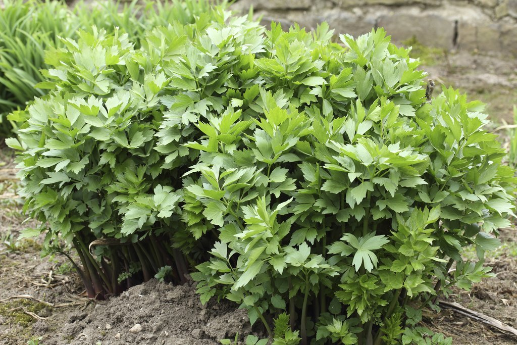 Lovage: planting and cultivating - Ooreka