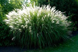 Miscanthus planter et cultiver ooreka for Entretien plantes vivaces