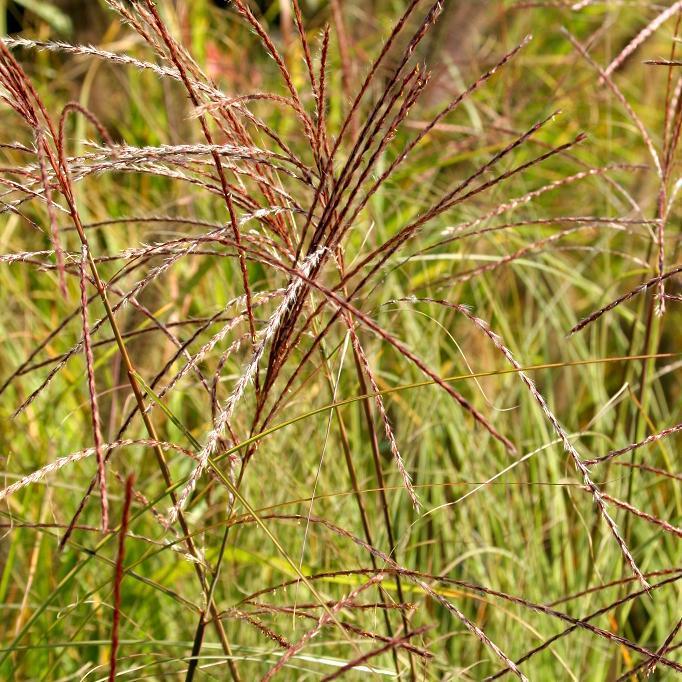 Petits miscanthus (jusqu'à 1,20m) Miscanthus sinensis 'Morning Light'