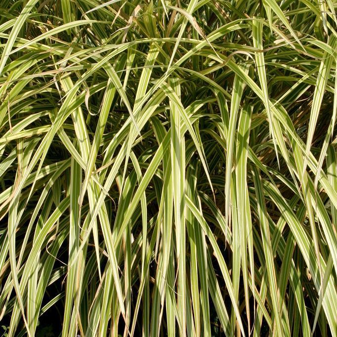 Miscanthus moyens (de 1,21à 2m) Miscanthus sinensis 'Variegatus'