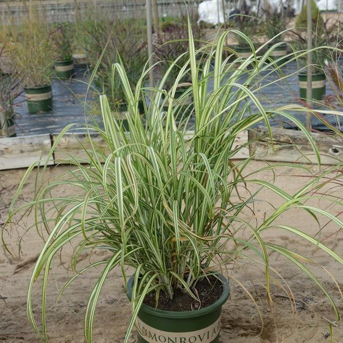 Grands sujets (plus de 2m) Miscanthus sinensis var. condensatus 'Cabaret'