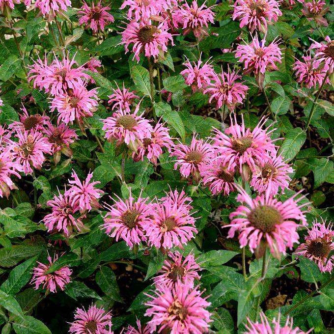 Variété 'Croftway Pink'