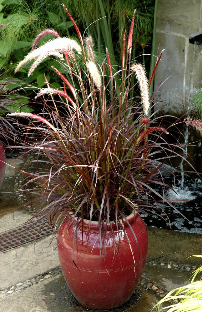 pennisetum   planter et cultiver  u2013 ooreka