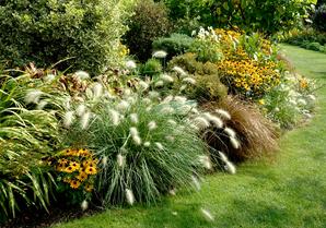 Semis et plantation du pennisetum