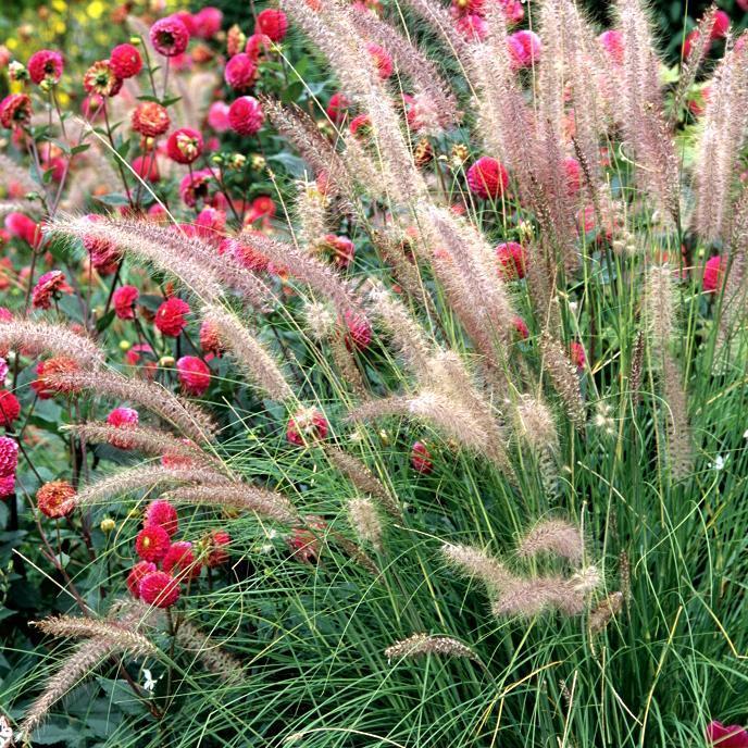 Espèces non rustiques Pennisetum setaceum