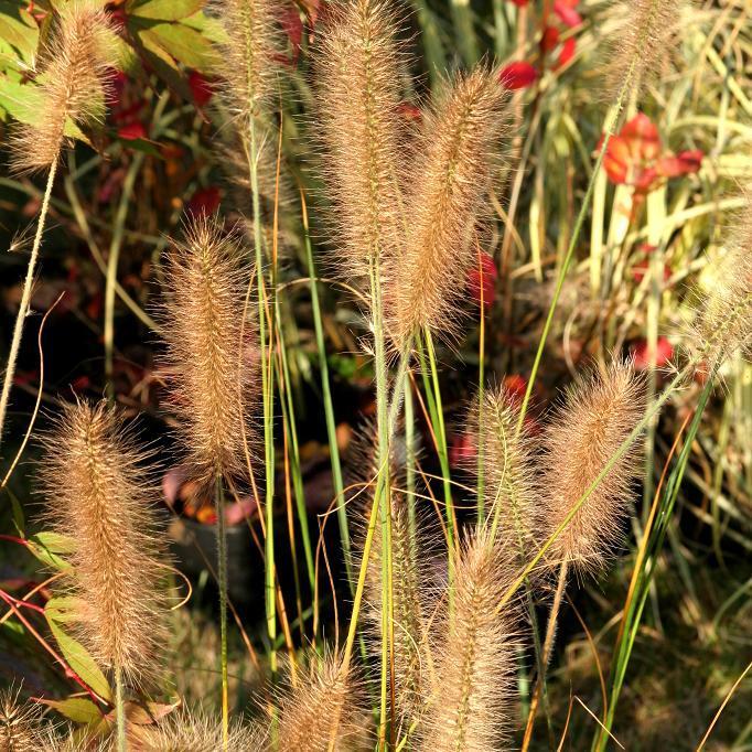 Espèces rustiques Pennisetum alopecuroides
