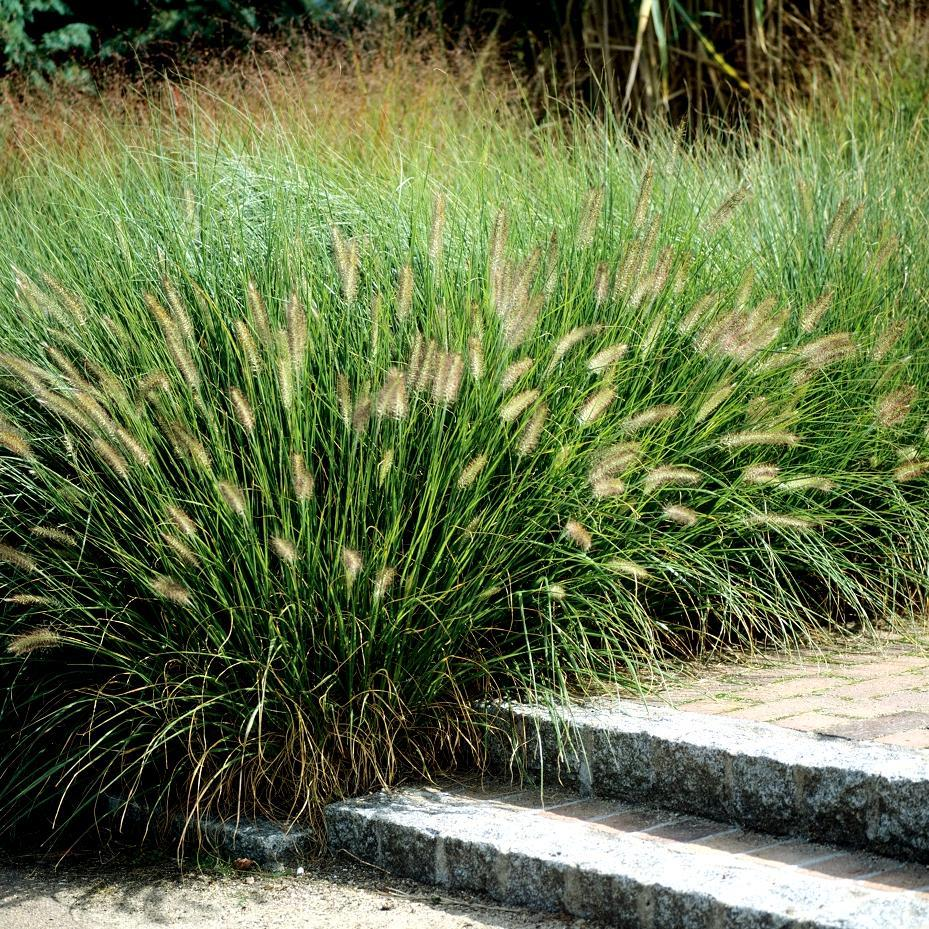 Espèces rustiques Pennisetum alopecuroides 'Hameln'