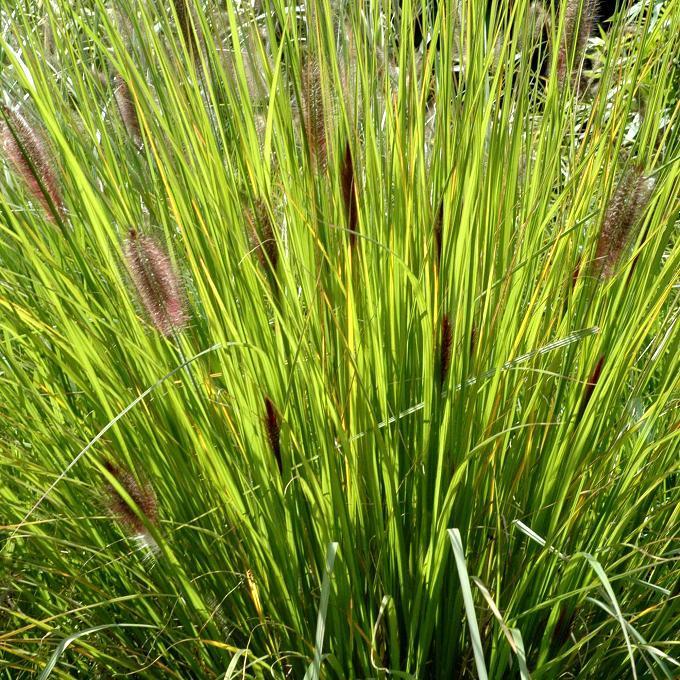 Espèces rustiques Pennisetum alopecuroides 'Japonicum'
