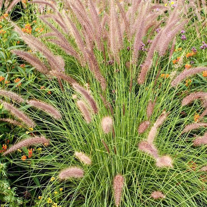 Espèces rustiques Pennisetum alopecuroides 'Little Honey'