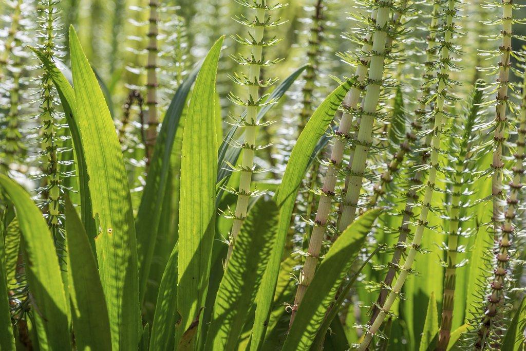 plante aquatique hippuris vulgaris