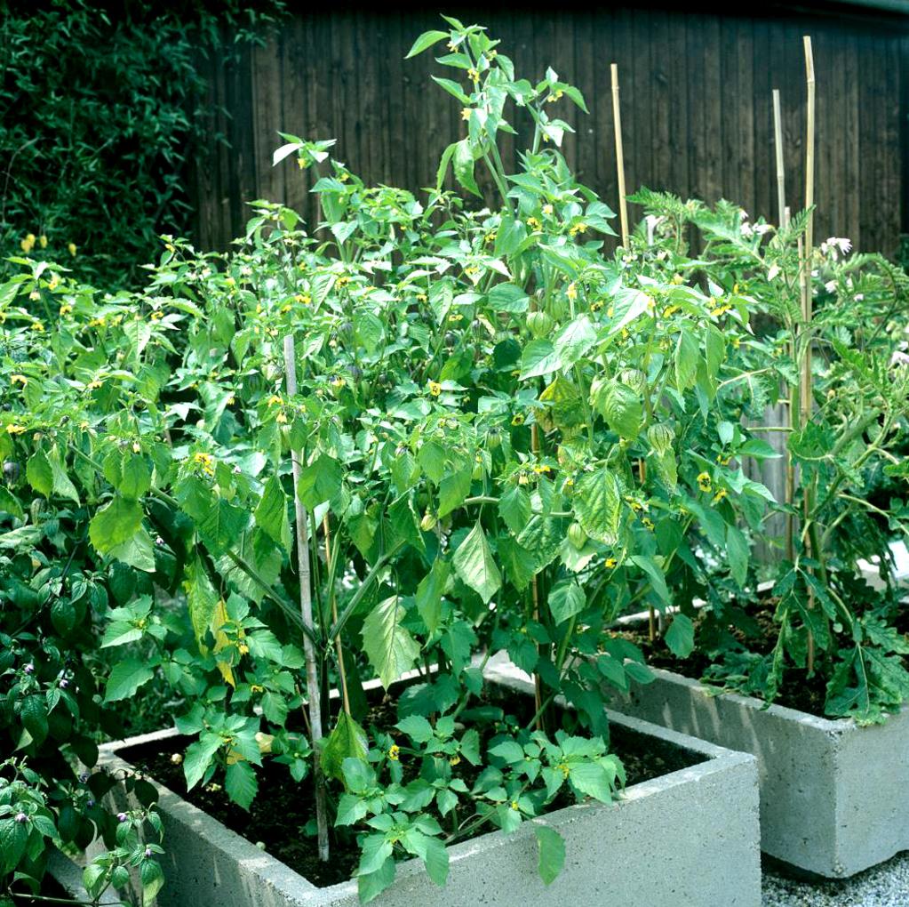 Physalis planter et cultiver ooreka for Plante 4 images 1 mot