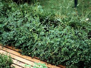Plantation de la pimprenelle
