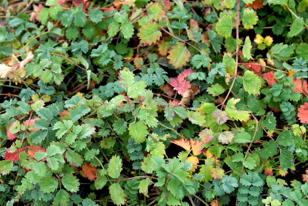 Pimprenelle planter et cultiver ooreka - Association plantes aromatiques entre elles ...