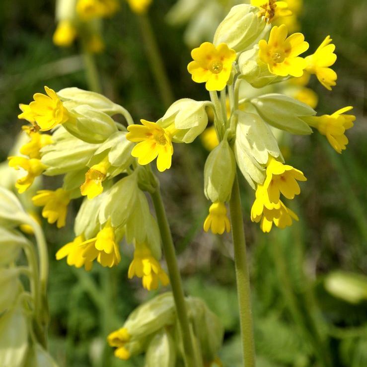 Section Polyanthus Coucou ou primevère officinale (Primula veris)