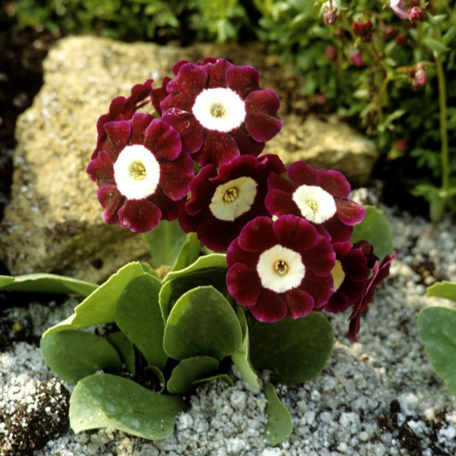 Section Auricula Primula x pubescens