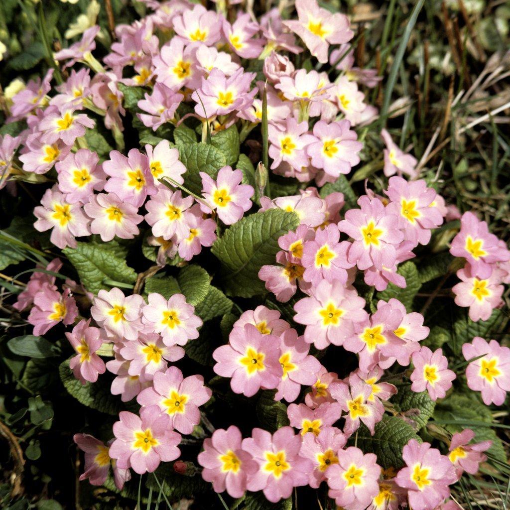 Section Polyanthus Primula vulgaris