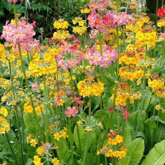 Section Proliferæ (primevère candélabre) Primevère du Japon (Primula japonica)