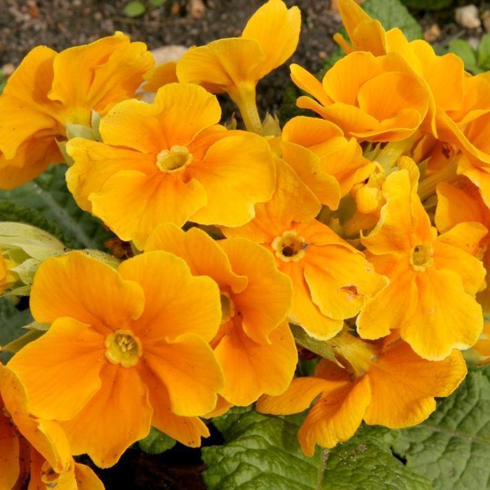 Section Polyanthus Primevère élevée (Primula elatior)