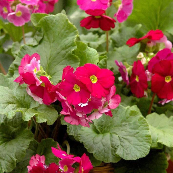 Primevères d'intérieur Primula obconica