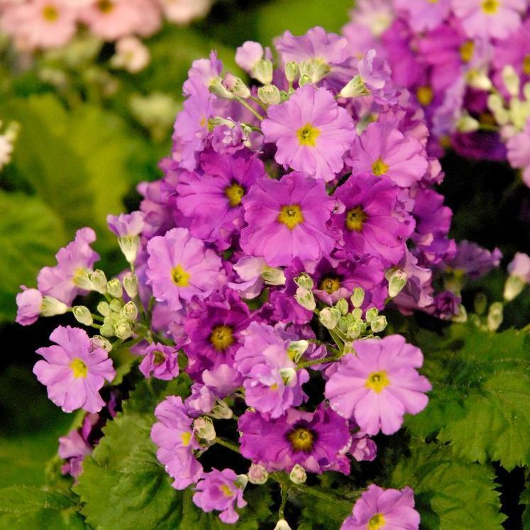 Primevères d'intérieur Primevère à petites fleurs (Primula malacoide)