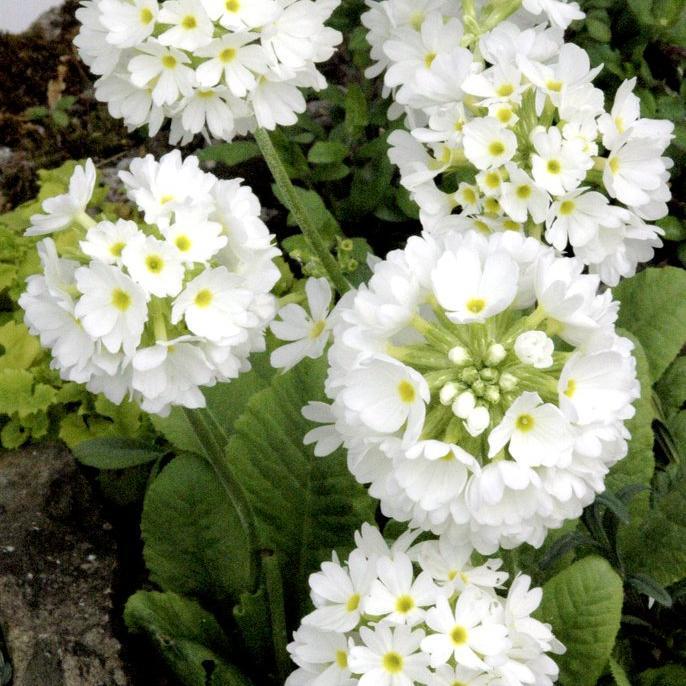 Denticulata Primula denticulata